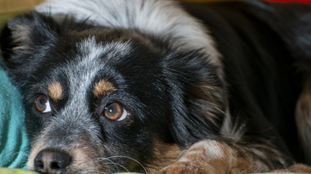 anxious dog awaiting owner to arrive home