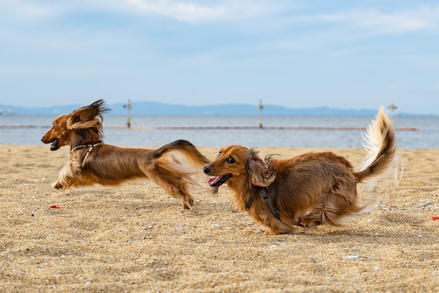 Two dogs running on a beach.