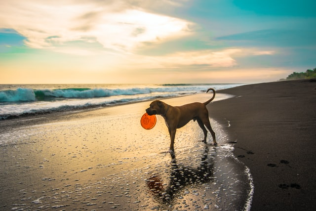 A dog on a beach with a frisbee in it's mouth.