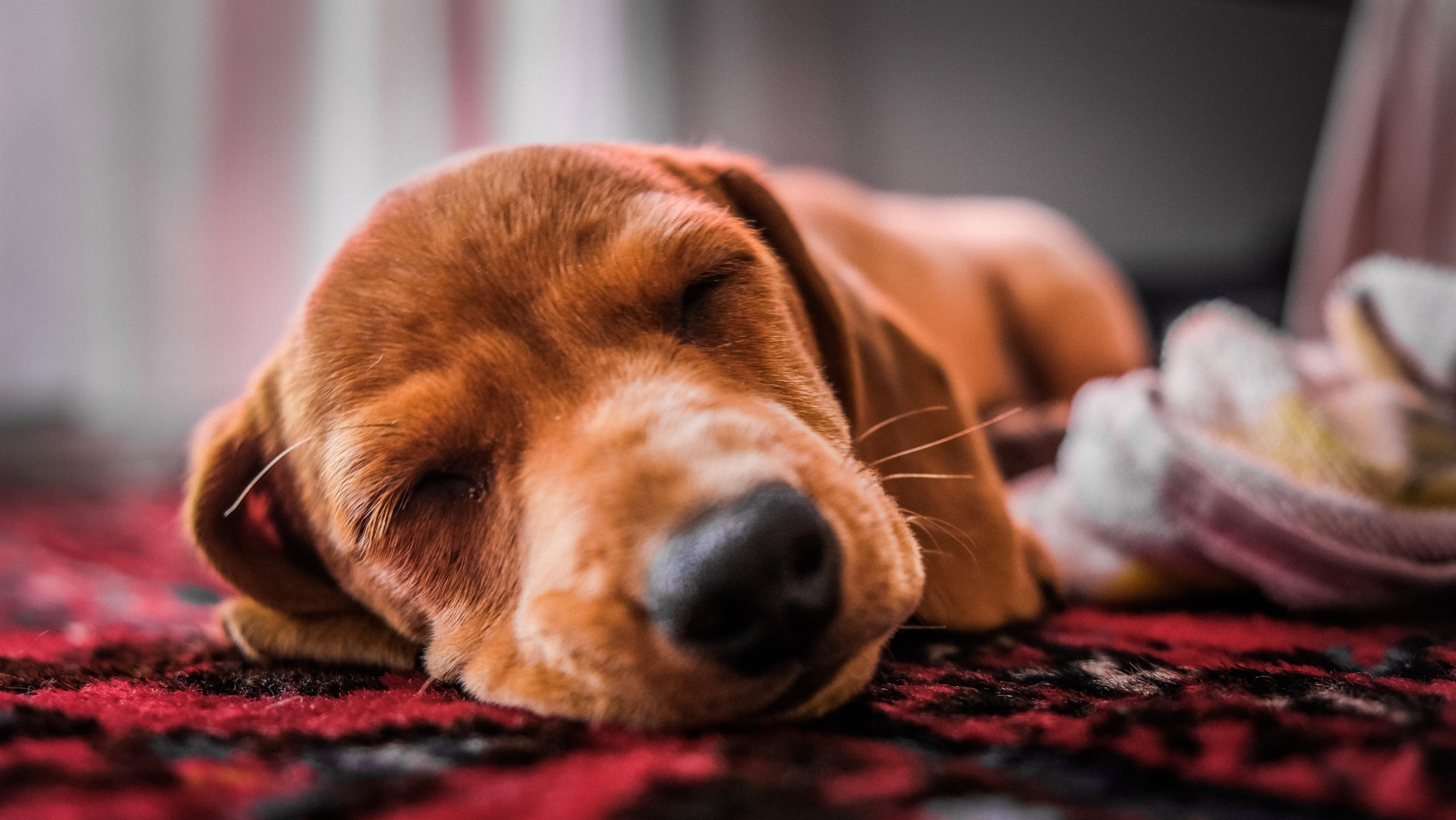 Is Snoring A Bad Sign In Dogs?