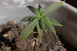 Marijuana Firm Hexo Is Now Diving into Carbon-neutral Cannabis Business