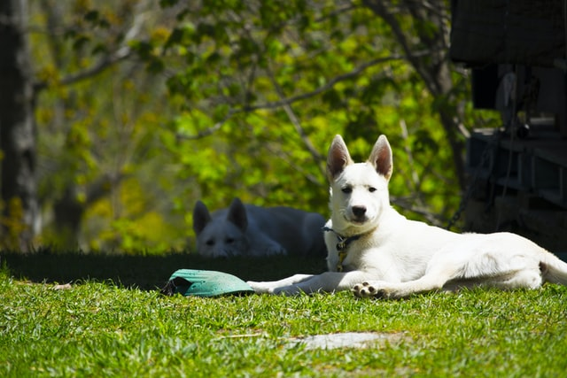 Two dogs laying on the grass.