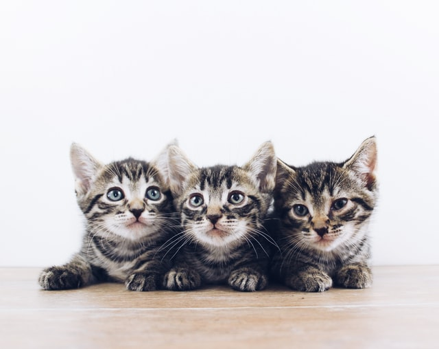 Three kittens laying next to each other.